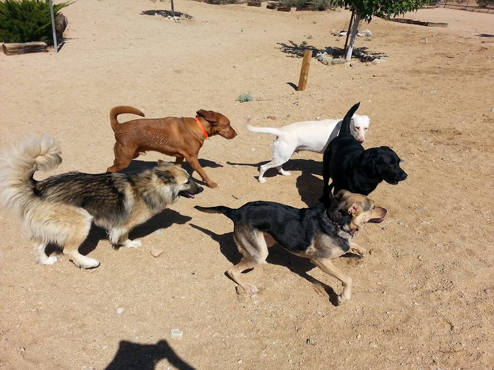 joshua-tree-pet-resort-dogs-running
