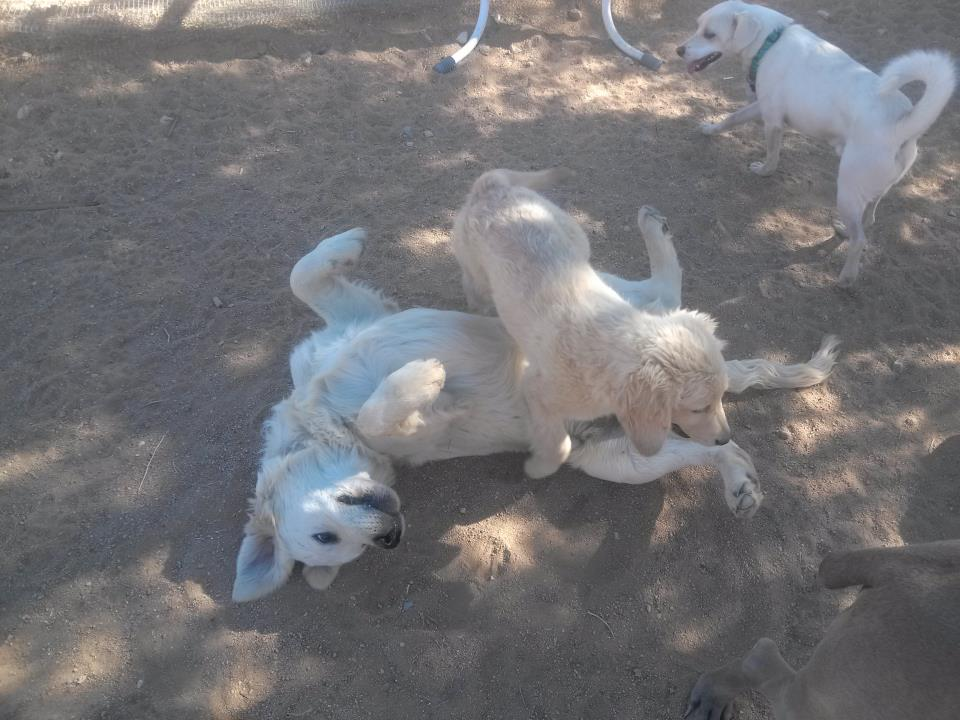 joshua-tree-pet-resort-dogs